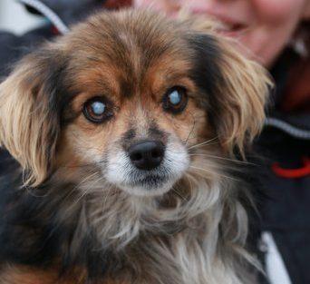 Ralph, abbandonato in autostrada completamente cieco, è stato salvato da una nostra operatrice