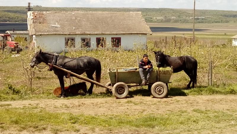 Cavalli da lavoro in Romania