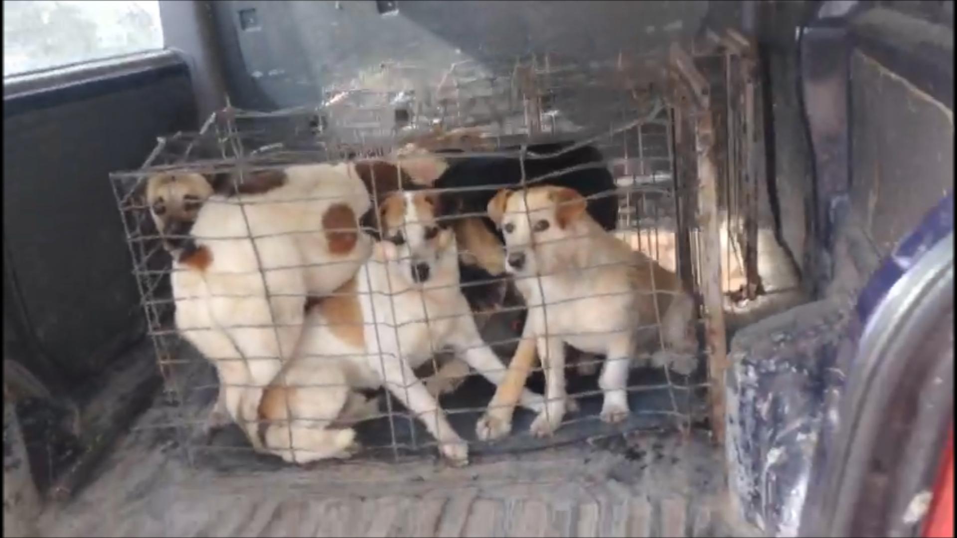 Maxi operatie de capturare a cainilor fara stapan din Cernavoda: o noua provocare pentru Save the Dogs